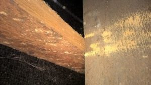 Woodworm specialist treating roof timbers in Bournemouth Poole Weymouth Swanage Dorchester Wimborne Bridport Chrischurch Dorset Hampshire Wiltshire Somerset
