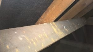 Common furniture beetle treatment found in loft, In Bournemouth Weymouth Poole Swanage Wimborne Blandford Dorchester New Forest Ringwood Bridport Christchurch Dorset Witshire Hampshire Somerset