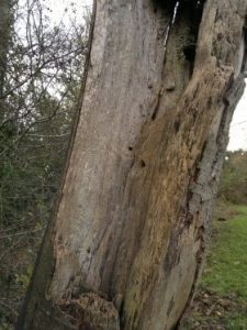 Deathwatch beetle infest old oak tree in Bournemouth Weymouth Poole swanage Dorchester Wimborne Bridport Christchurch New Forest Ringwood Dorset Wiltshire Hampshire Somerset